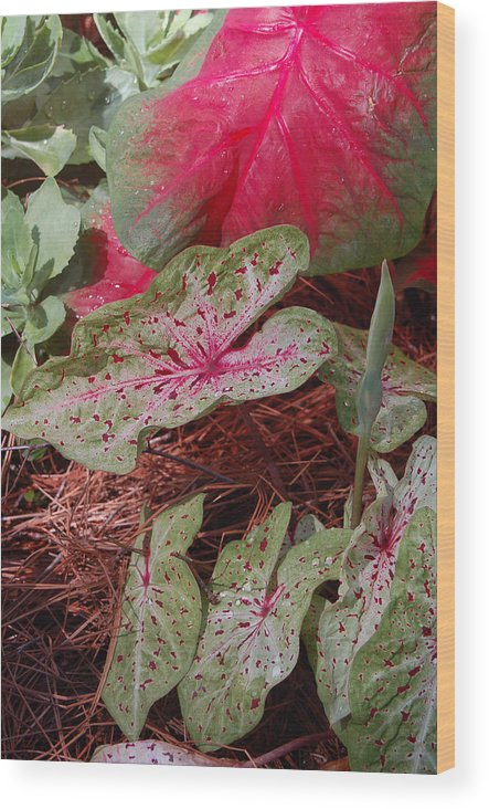 Caladium Wood Print featuring the photograph Courtyard Caladium by Suzanne Gaff