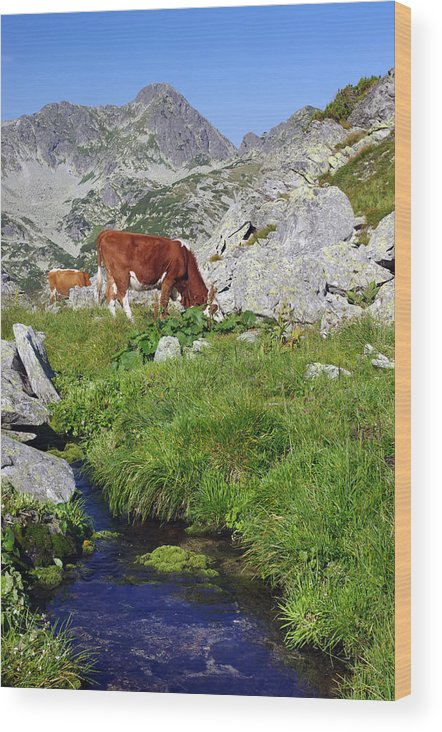 Alp Wood Print featuring the photograph Cow On Alpine Pasture by Ioan Panaite