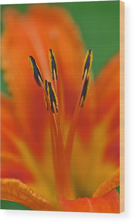 Flower Wood Print featuring the photograph Day Lily Anther by Mike Martin