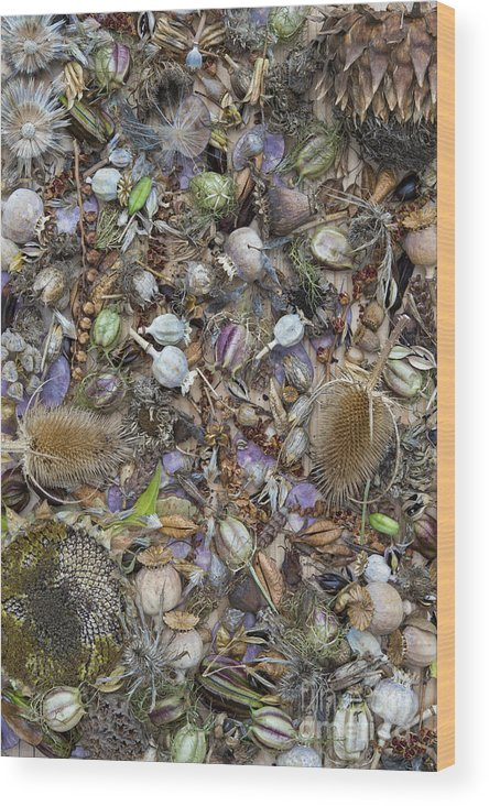 Dried Wood Print featuring the photograph Dried Flower Seeds by Tim Gainey