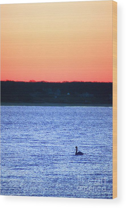 Swan Wood Print featuring the photograph First To Sea by Joe Geraci
