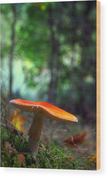 Fly Agaric Wood Print featuring the photograph Fly Agaric by Gavin Macrae