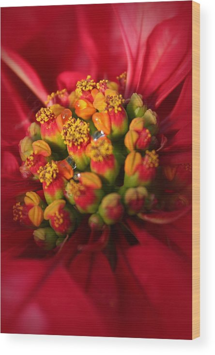 Poinsettia Wood Print featuring the photograph For Christmas by Lynn Sprowl