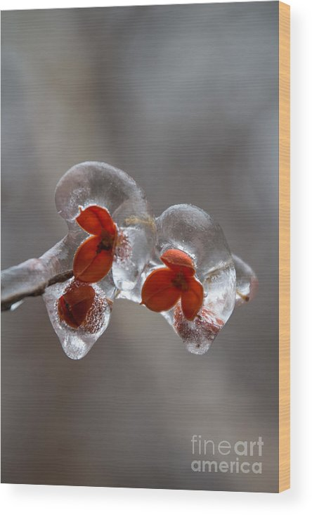 American Bittersweet Wood Print featuring the photograph Frozen Bittersweet Pods by Jim McCain