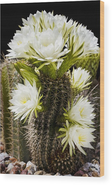 Full Bloom Wood Print featuring the photograph Full Bloom by Kelley King