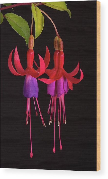 Fuchsia Wood Print featuring the photograph Fused Fuchsia Flower by Sheila Terry