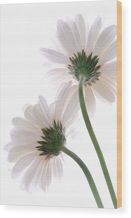 White Wood Print featuring the photograph Gerbera Daisy II by Michael Moschogianis