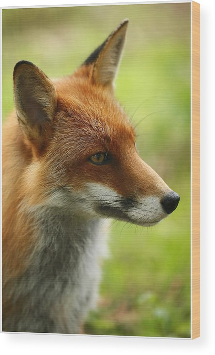 Vixen Wood Print featuring the photograph Ginge by John Fotheringham