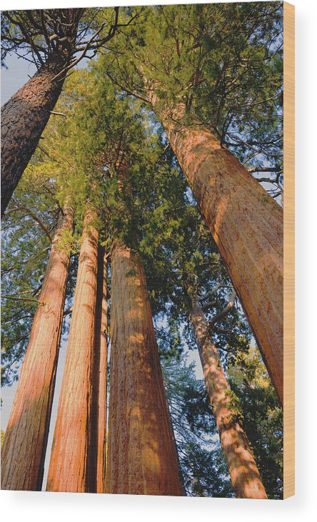 Mountains Wood Print featuring the photograph Grants Grove's Treasure by Bryan Shane