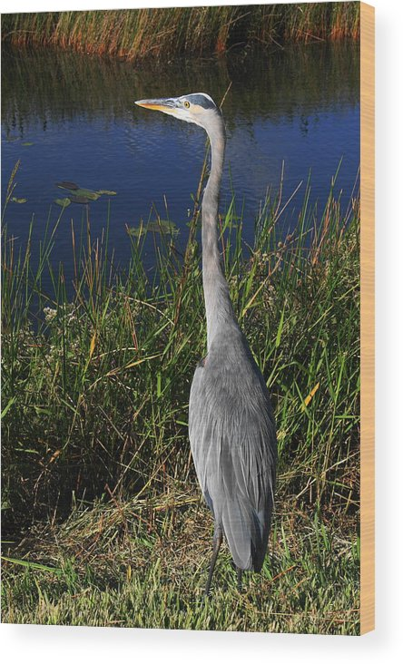 Heron Wood Print featuring the photograph Great Blue Heron by Adriann Partrick