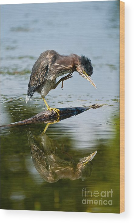 Green Heron Wood Print featuring the photograph Green Heron Pictures 488 by World Wildlife Photography