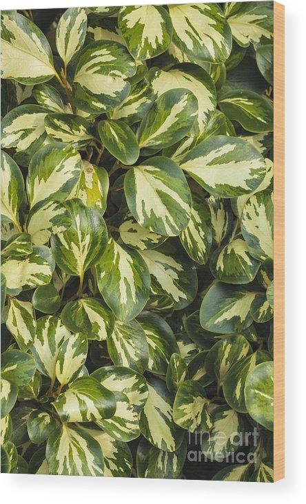 Grisilinia Littoralis 'dixon's Cream' Wood Print featuring the photograph Grisilinia Littoralis 'dixon's Cream' by Geoff Kidd