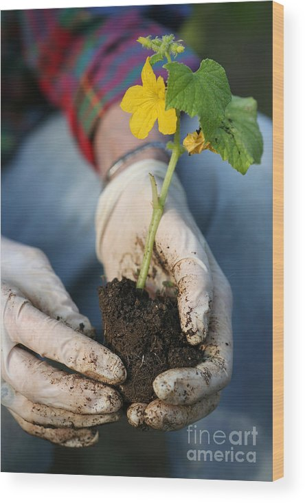 Soil Wood Print featuring the photograph Hands Planting Plant by Konstantin Sutyagin
