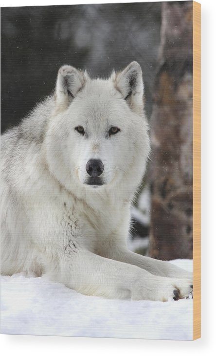 Wildlife Wood Print featuring the photograph Handsome Man by Brenda Boyer