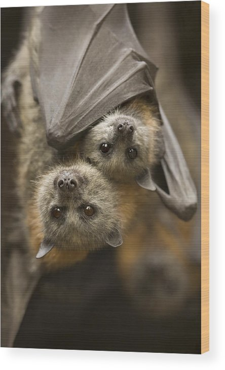 Bats Wood Print featuring the photograph Hang In There by Mike Dawson