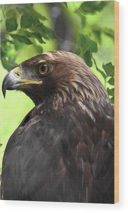 Predator Wood Print featuring the photograph Hawk Scouting by Sotiris Filippou