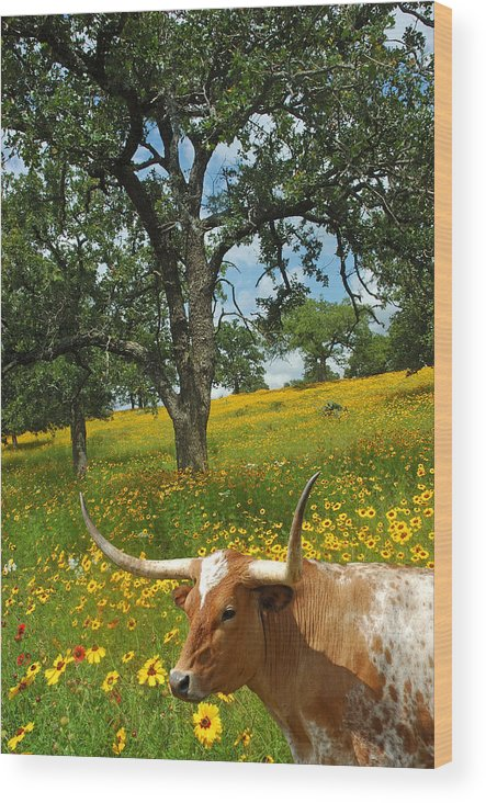 Texas Longhorn Wood Print featuring the photograph Hill Country Longhorn by Robert Anschutz