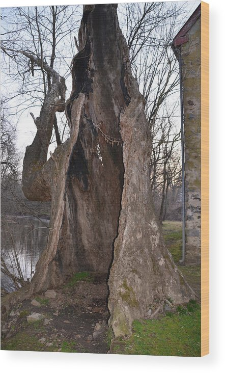 Hollow Wood Print featuring the photograph Hollow Tree At Mather Mill by Bill Cannon