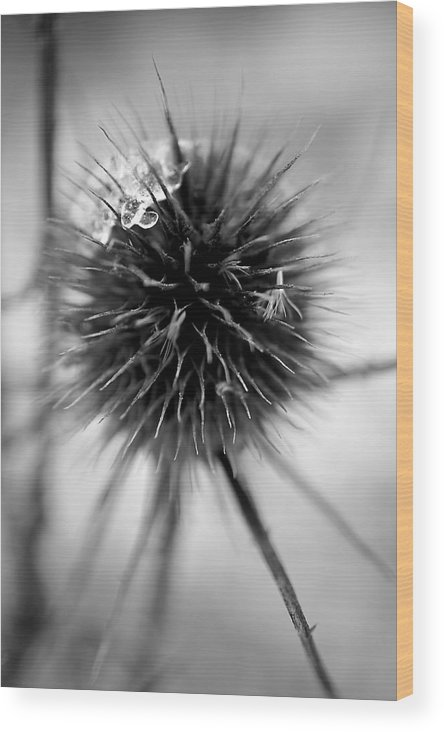 Ice On Thistle Wood Print featuring the photograph Ice On Thistle by Beth Akerman