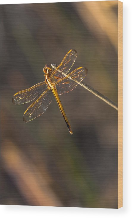 Dragonfly Wood Print featuring the photograph Iridescent Dragonfly Wings by Ed Gleichman
