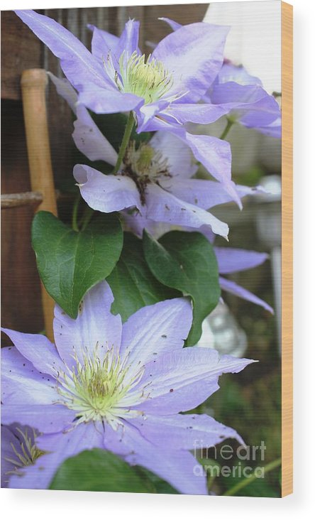 Flowers Wood Print featuring the photograph Lavender Star by Judy Palkimas