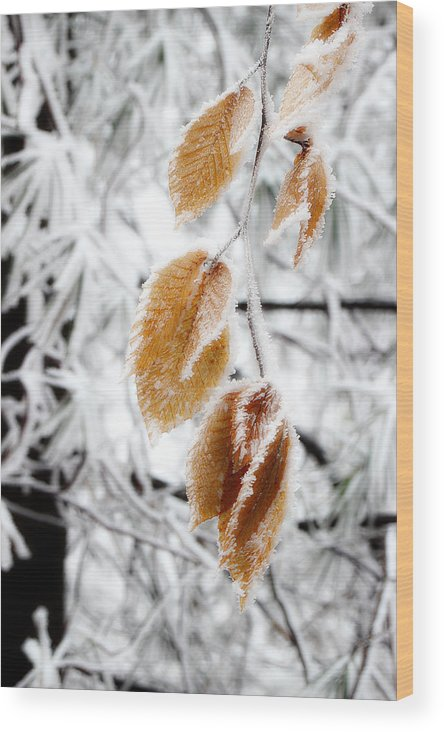 Snow Leaves Wood Print featuring the photograph Leaves In The Frost by Michael Eingle