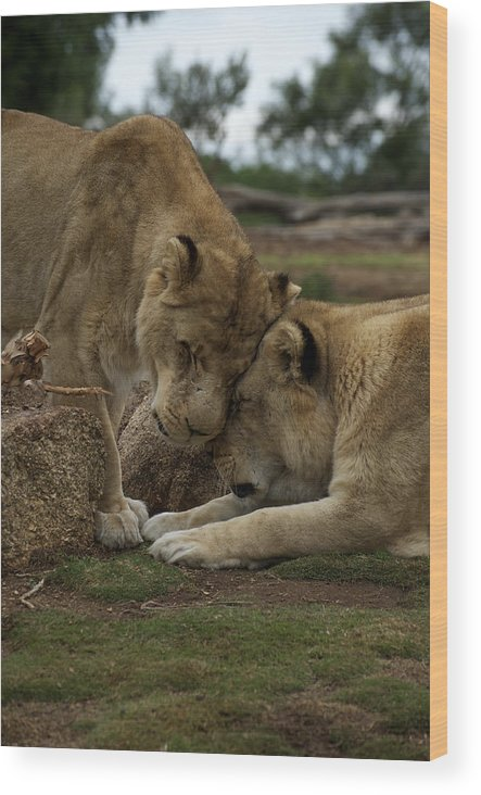 Australian Wood Print featuring the photograph Lion Smooch by Graham Palmer