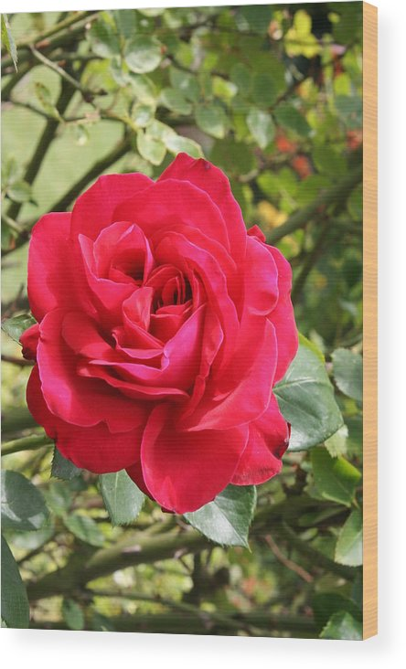 Rose Wood Print featuring the photograph Lovely Red Rose by Christiane Schulze Art And Photography