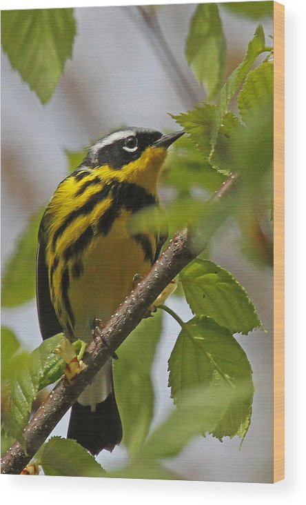 Magnolia Warbler Wood Print featuring the photograph Magnolia Warbler by Jaron Wood