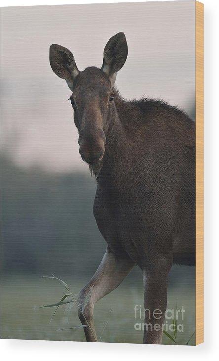 Alces Wood Print featuring the photograph Moose Portrait by Erik Mandre