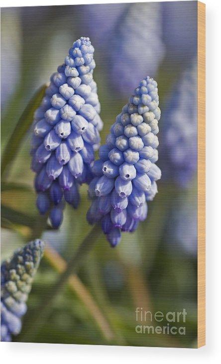 Grape Hyacinth Wood Print featuring the photograph Muscari Armeniacum 'valerie Finnis' by Dr Keith Wheeler