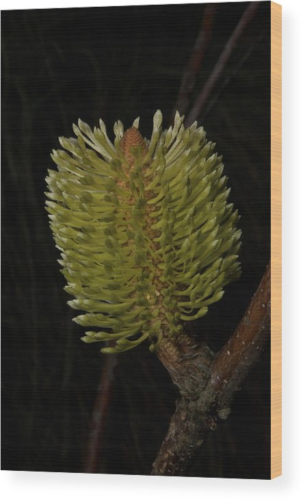 Australian Wood Print featuring the photograph New Banksia Flower by Graham Palmer
