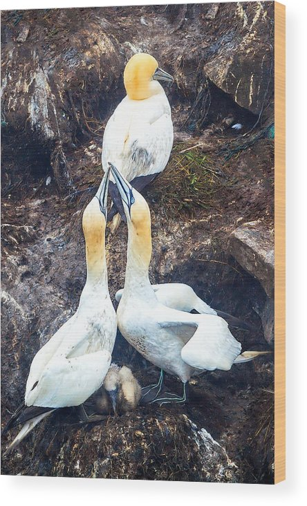 Northern Gannet Wood Print featuring the photograph Northern Gannet by Perla Copernik