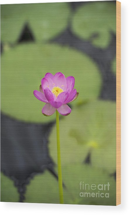 Nymphaea Carpentariae Julia Leu Wood Print featuring the photograph Nymphaea Carpentariae Julia Leu Waterlily by Tim Gainey
