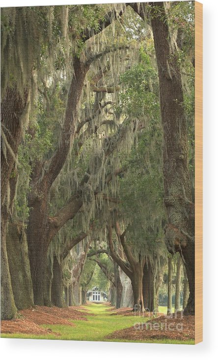 Avenue Of The Oaks Wood Print featuring the photograph Oaks Of Georgia by Adam Jewell
