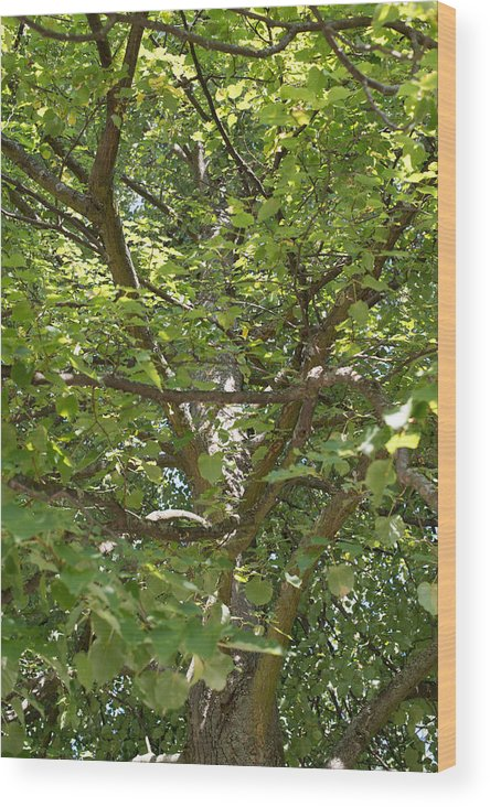 Autumn Wood Print featuring the photograph Old Linden Tree by Frank Gaertner
