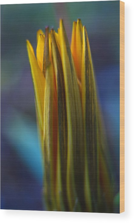 Gazania Wood Print featuring the photograph Open Up by Jean Booth