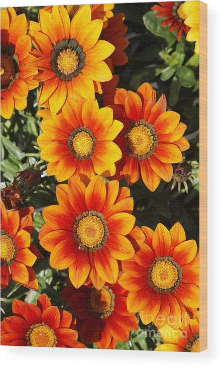 Orange Flowers Wood Print featuring the photograph Orange Flowers by Robert Preston