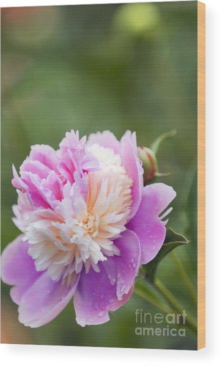 Peony Wood Print featuring the photograph Paeonia Lactiflora 'raspberry Sundae' by Maria Mosolova
