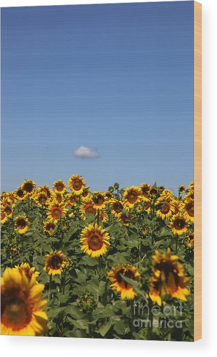 Sunflower Wood Print featuring the photograph Passing By by Amanda Barcon
