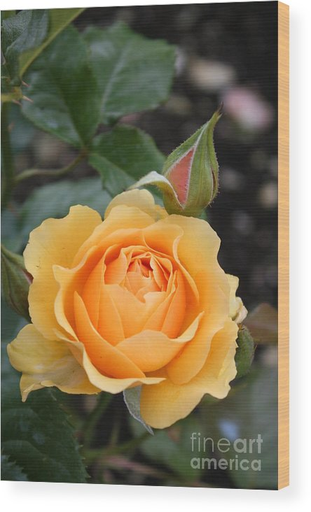 Rose Wood Print featuring the photograph Perfect Rose by Christiane Schulze Art And Photography