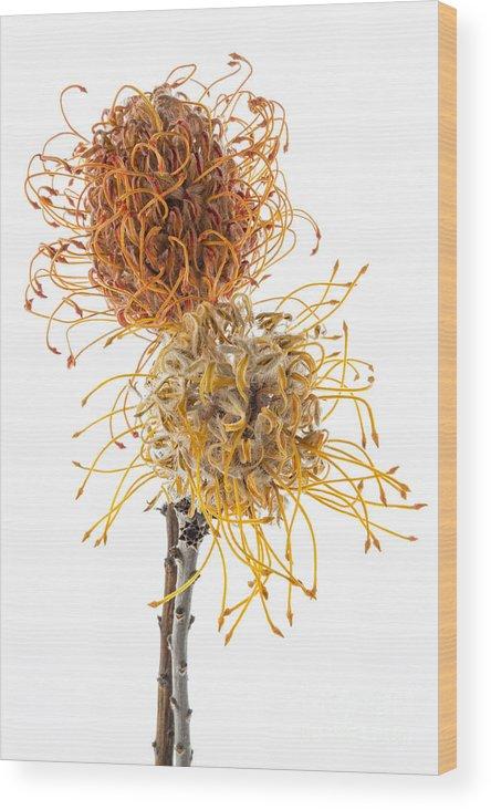 Pincushion Protea Wood Print featuring the photograph Pincushion Protea by Ann Garrett