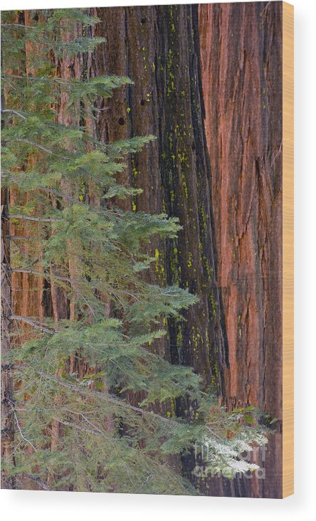 Mountains Wood Print featuring the photograph Pine In The Redwoods by Bryan Shane