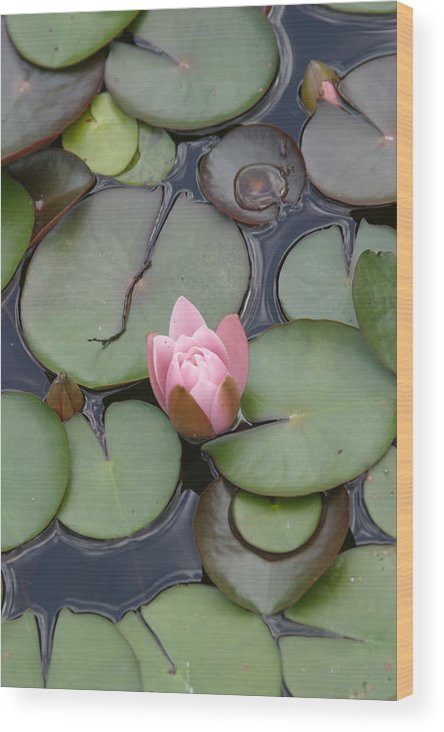 Lilly Wood Print featuring the photograph Pink Lilly by Dervent Wiltshire