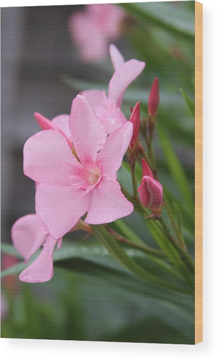 Oleander Wood Print featuring the photograph Pink Oleander 5 by Cathy Lindsey