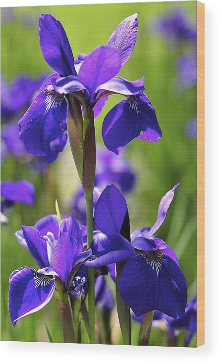 Iris Wood Print featuring the photograph Purple Reign by Sandy Molinaro