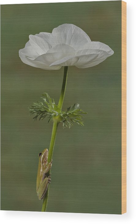 Frog Wood Print featuring the photograph Reaching To The Top by Susan Candelario