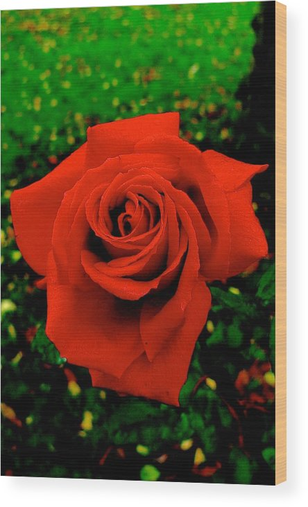 Rose Wood Print featuring the photograph Red Rose On Green by Dwight Pinkley