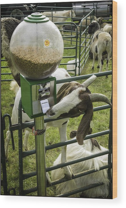 Goat Wood Print featuring the photograph Self Serve Goat by LeeAnn McLaneGoetz McLaneGoetzStudioLLCcom