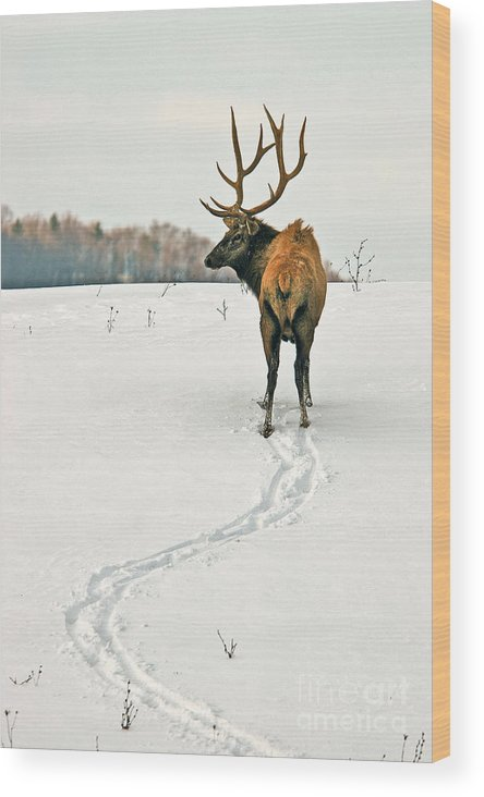 Elk Wood Print featuring the photograph Shortest Distance Elk by Timothy Flanigan